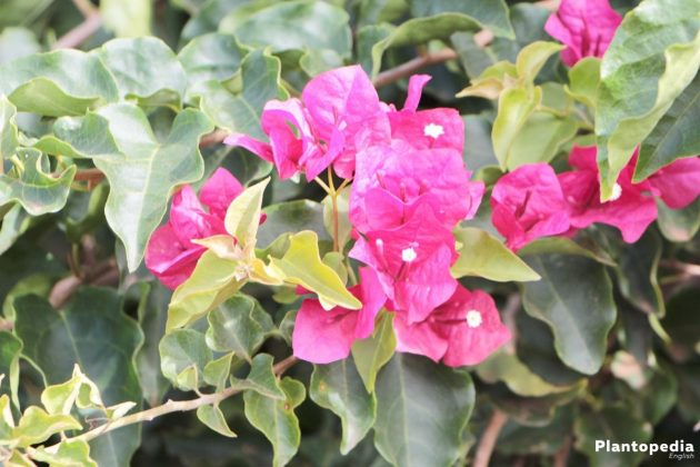 Bougainvillea in the garden
