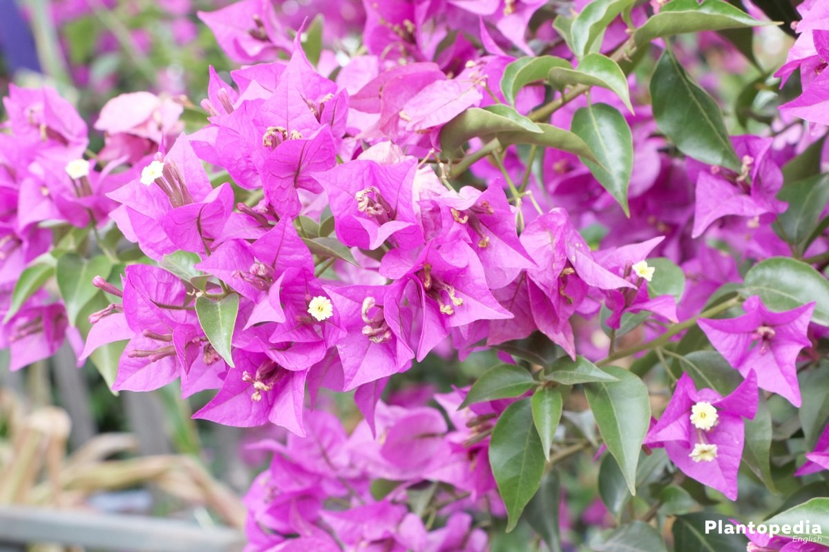 Bougainvillea plant care how to grow and prune this flower plantopedia - Tailler un bougainvillier ...