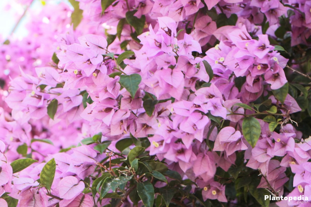 Bougainvillea Plant Care How To Grow And Prune This