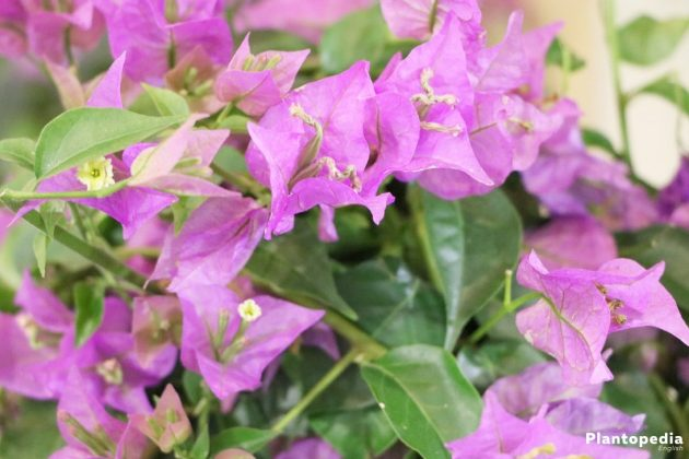 Bougainvillea with purple flowers