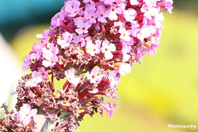Buddleia in many bright colors