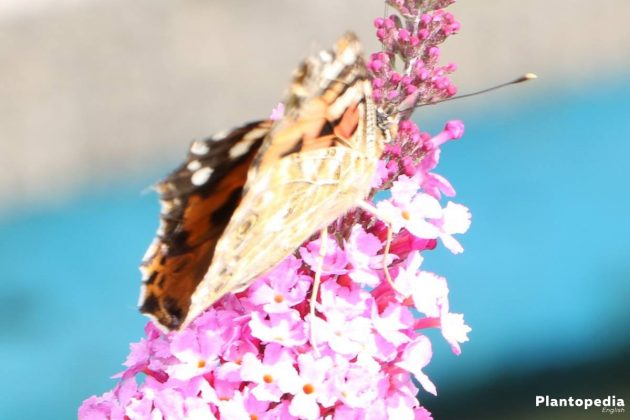 Butterfly Bush Tree loves warm and sunny locations