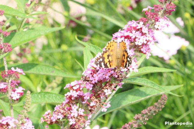 Butterfly Bush Tree shrub formed