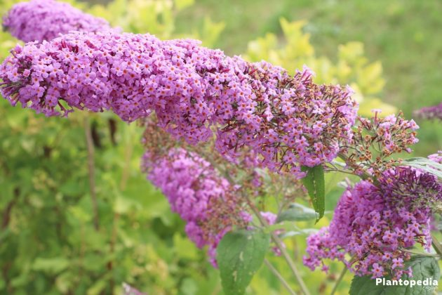 Butterfly Bush Tree with full blossoms