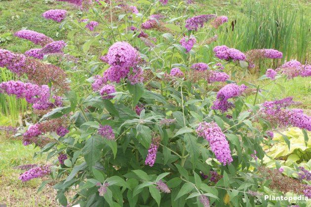 Buddleia - a beautiful garden plant