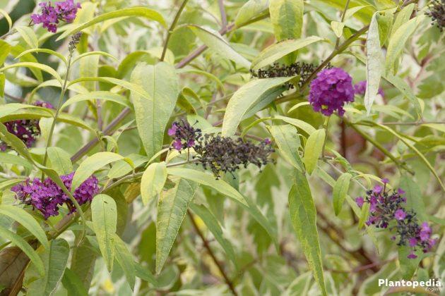 Butterfly Bush Tree is a thankful summer bloomer