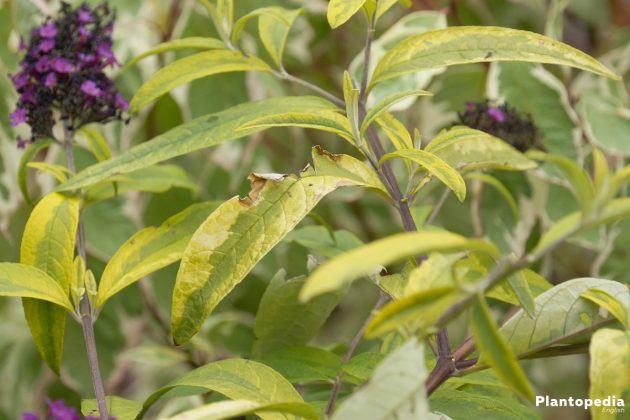 Butterfly Bush Tree with long serrated, matte green leaves