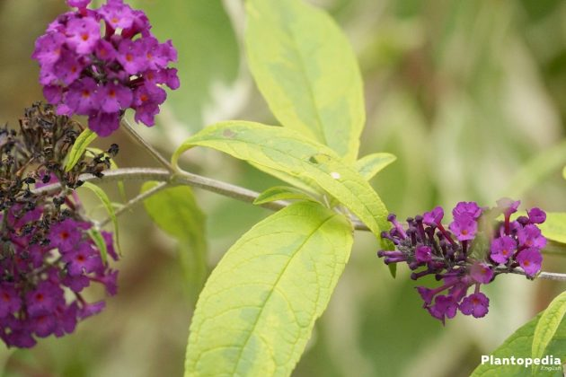 Buddleia with light green and matte leaves