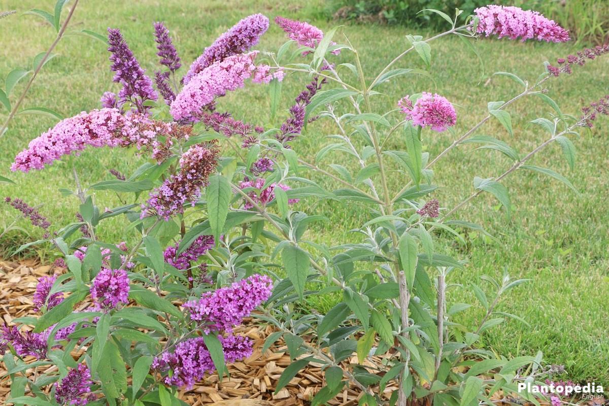 Buddleia - a beautiful ornamental shrub