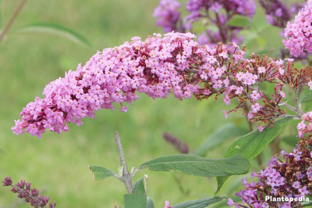 Butterfly Bush Tree - with grape like inflorescence
