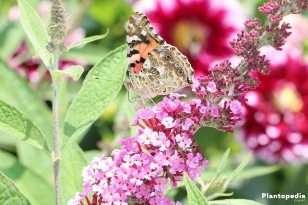 Butterfly Bush Tree lure butterfies in the garden