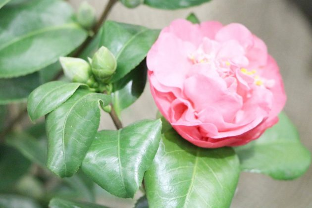 Camellia Japonica Flower with pink blossom