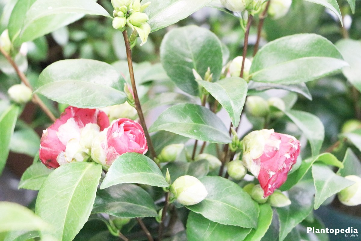 Camellia Japonica is an exotic Plant