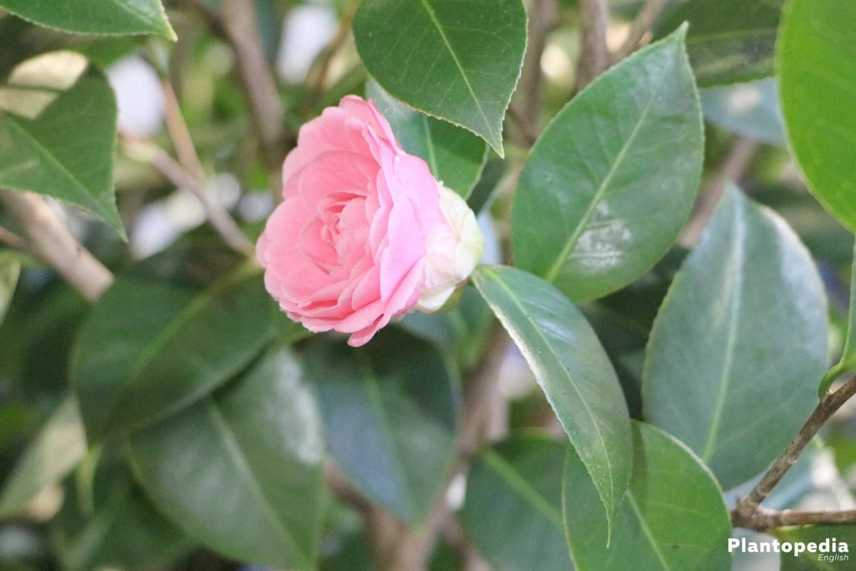 Camellia Japonica with delicate pink blossom
