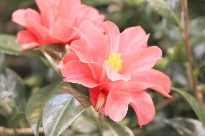 Camellia japonica Flower