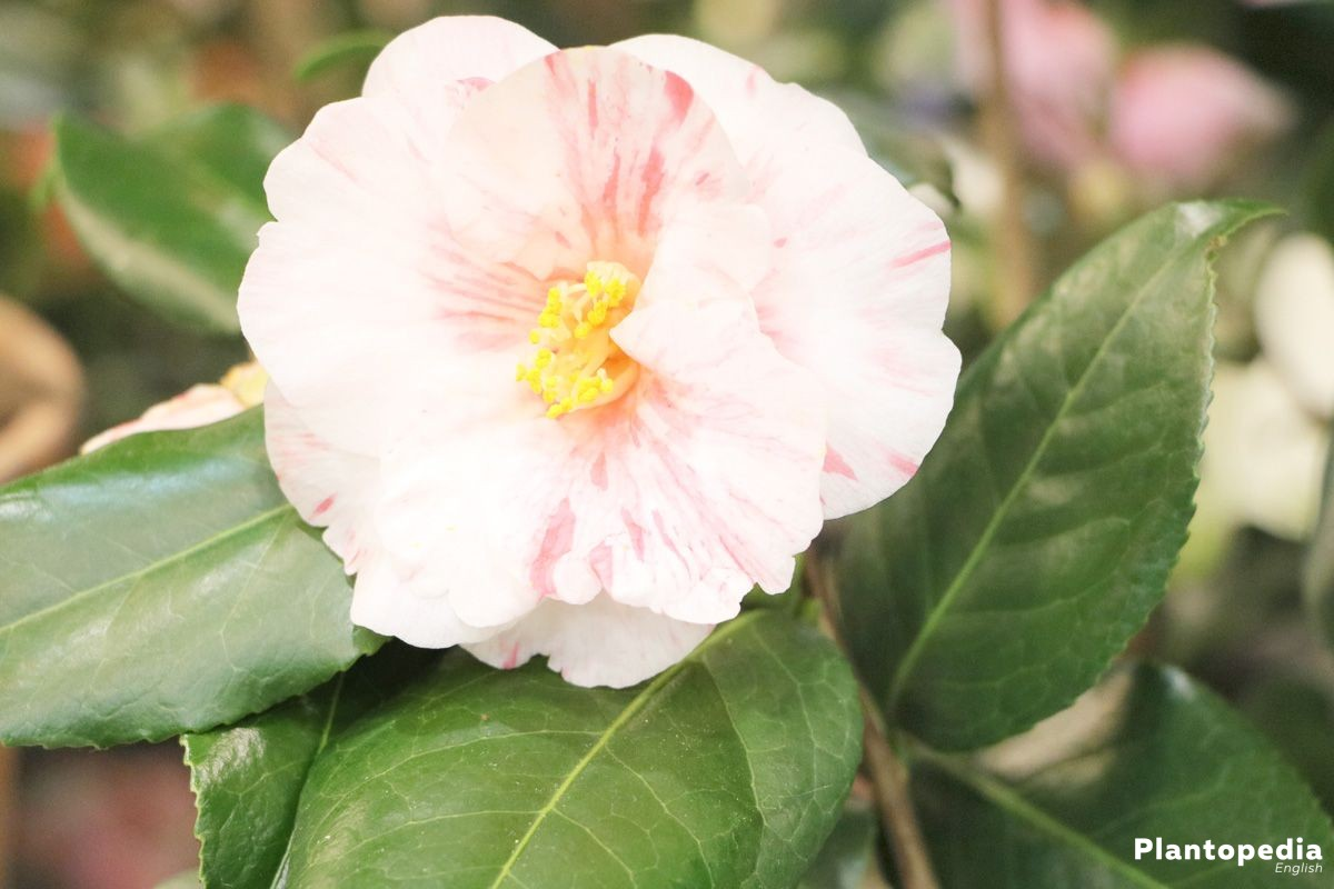 Camellia Japonica Flower How To Plant Care For