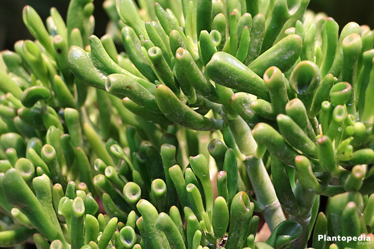 Jade Plant, Crassula Ovata - widely branched and green shrub
