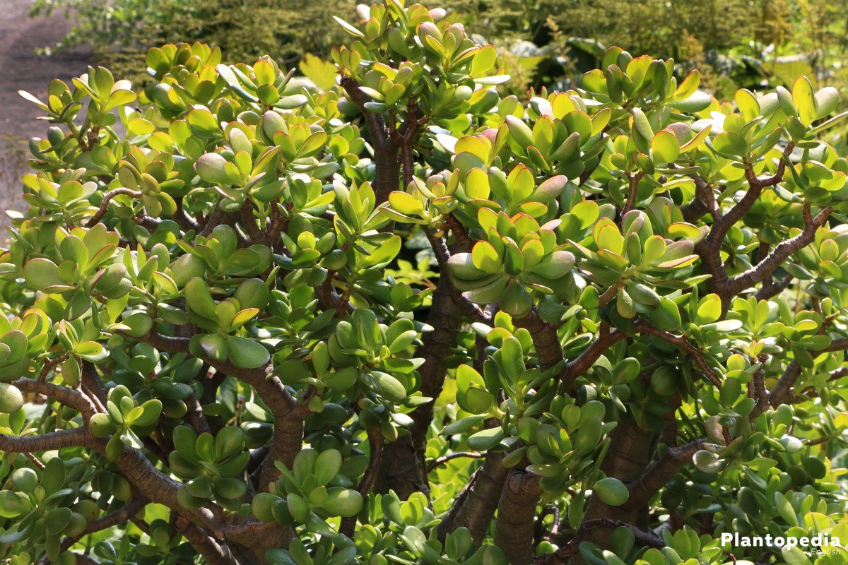 Lucky Plant, Jade Plant is often starkly branched