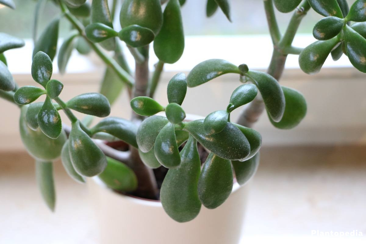 Money Tree, Lucky Plant, Jade Plant