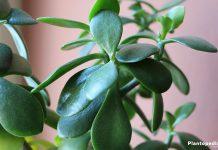 Money Tree, Lucky Plant, Jade Plant, Crassula ovata