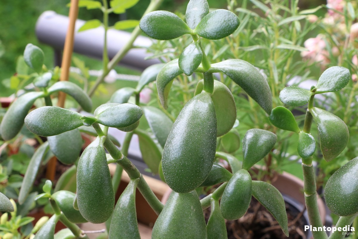 Jade Plant belongs to the family of thick leaved plants (Crassulaceae)