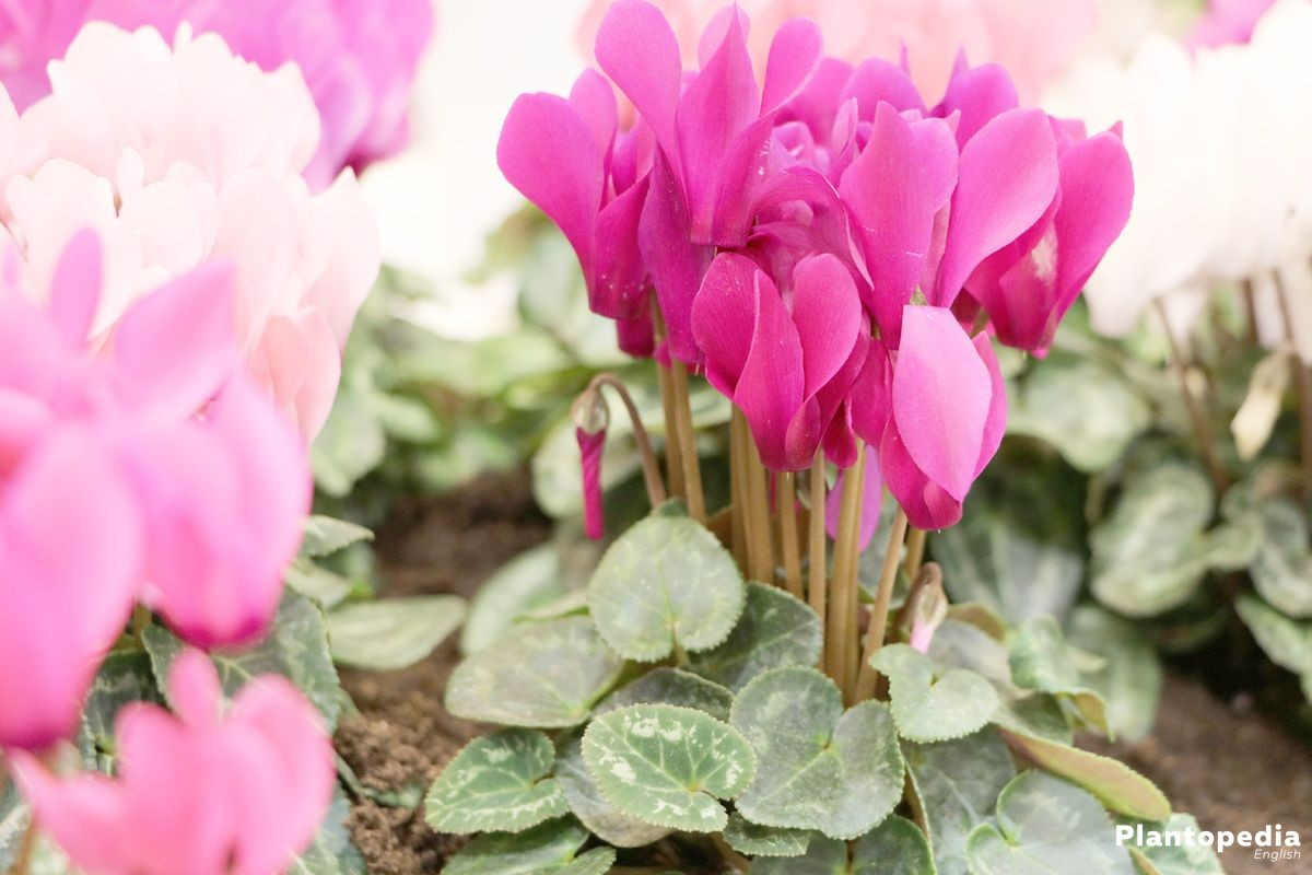 Cyclamen Cyclamen Persicum How To Grow And Care Plantopedia