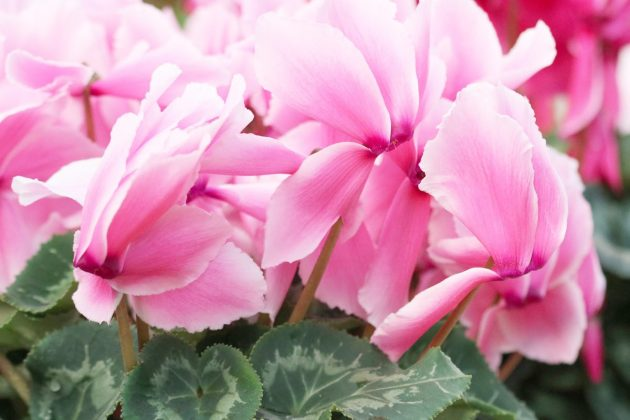 Cyclamen with pink, fringed flowers