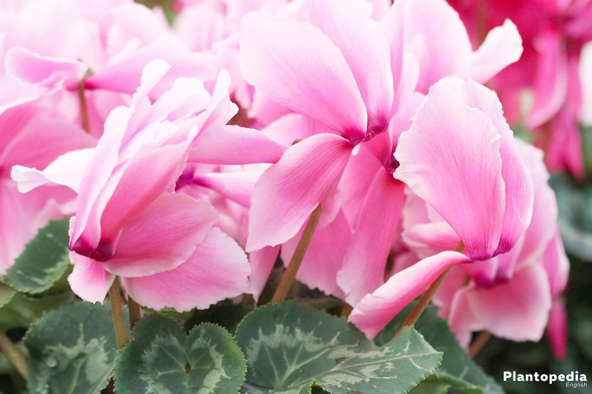 cyclamen with pink fringed flowers