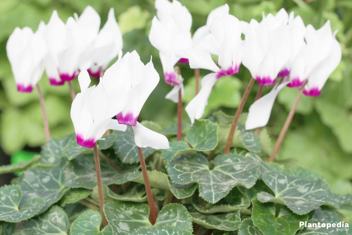 cyclamen with two colored blossom
