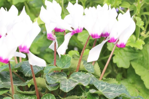 Cyclamen with white-purple flower color