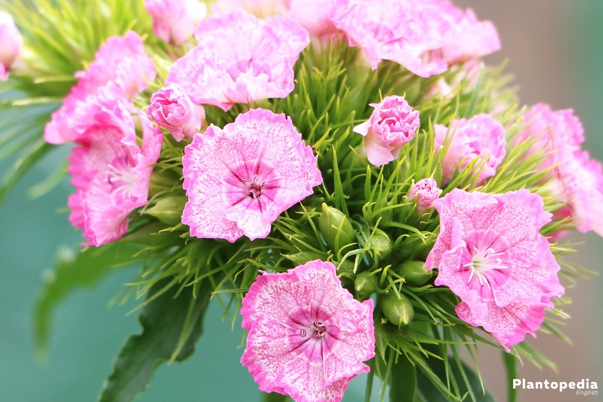 Dianthus - a beautiful and colorful plant