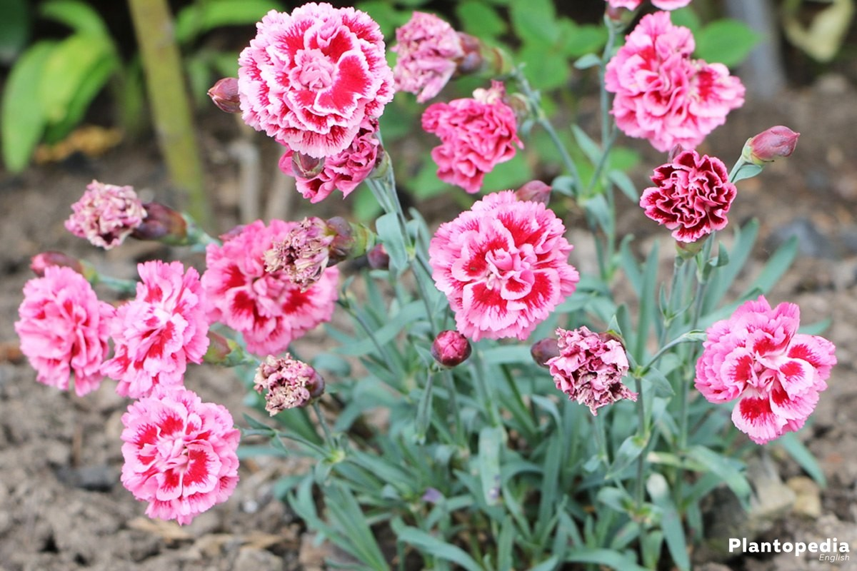 Dianthus Flowers in the garden