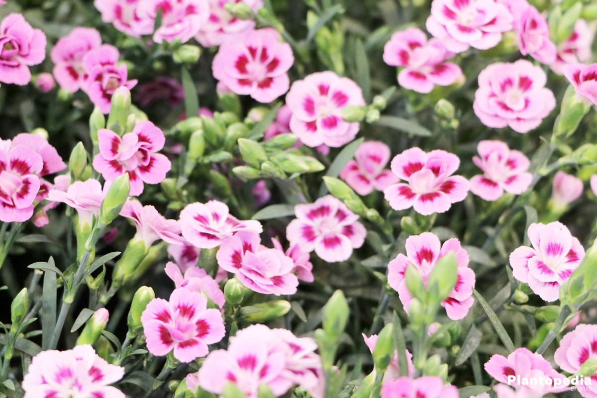 Dianthus Flowers How To Grow And Care Dianthus Plants Plantopedia