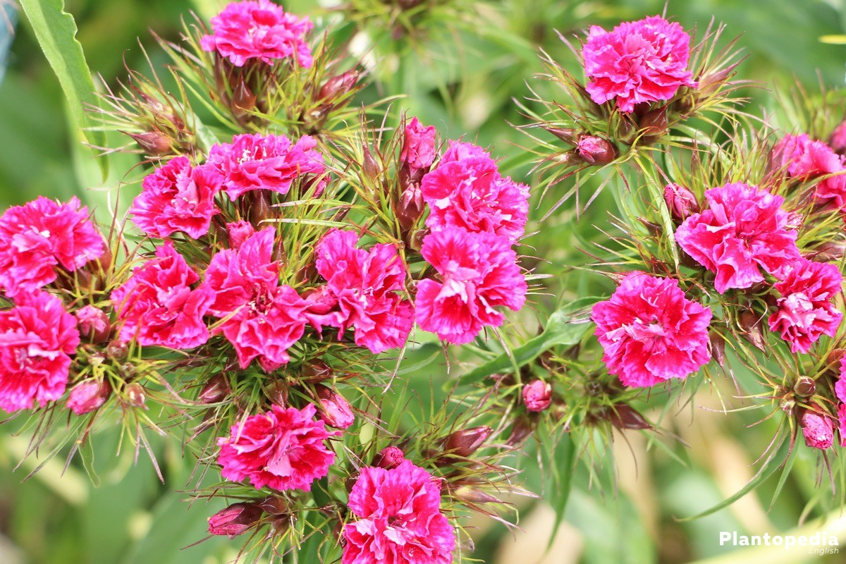 Dianthus Flowers in many bright colors