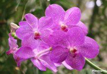 Orchidaceae vanda