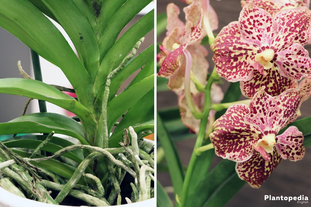 Indoor Orchid Care Pruning Repotting Watering Of An