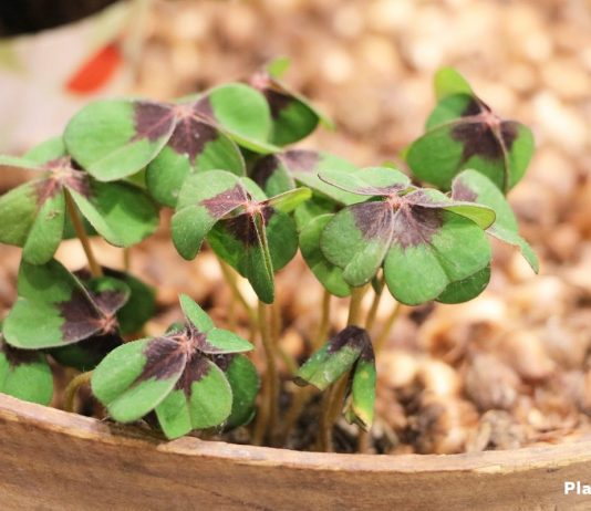 Growing Shamrock Plant, Oxalis Tetraphylla Bulbs