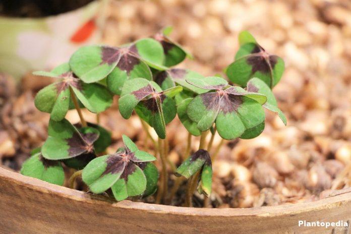Growing Shamrock Plant, Oxalis Tetraphylla Bulbs