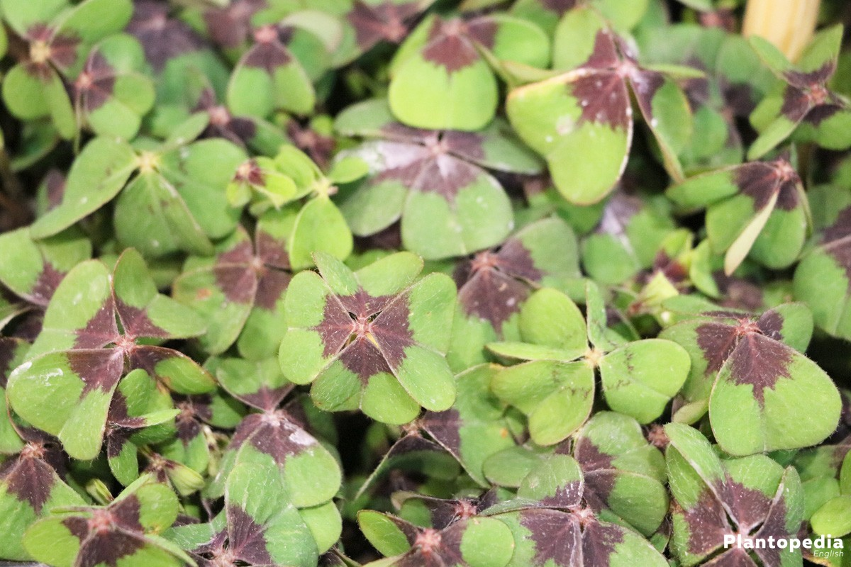 Growing Shamrock Plant Oxalis Tetraphylla Bulbs How To Plant