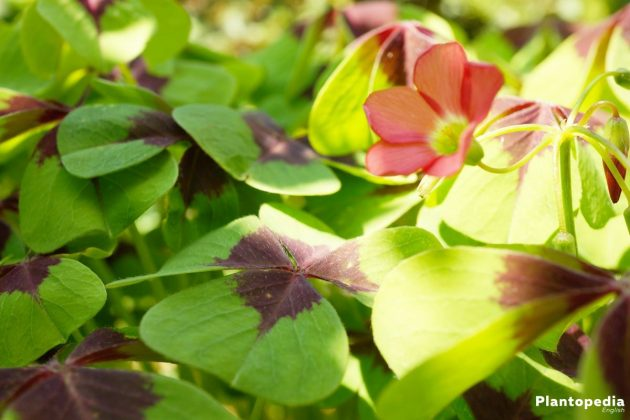 Growing Shamrock Plant, Oxalis Tetraphylla Bulbs - is a beautiful and extraordinary plant