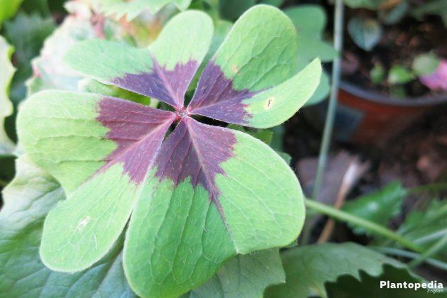 Oxalis Tetraphylla Bulbs - loves uniform soil moisture