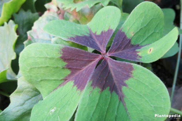 Growing Shamrock Plant with light green leaf color