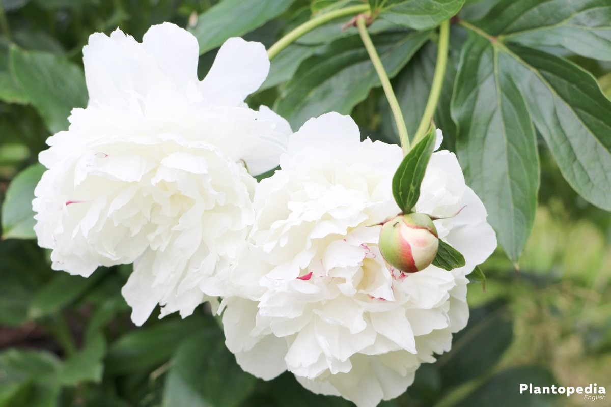 Peonies, Paeonia with white and full blossom