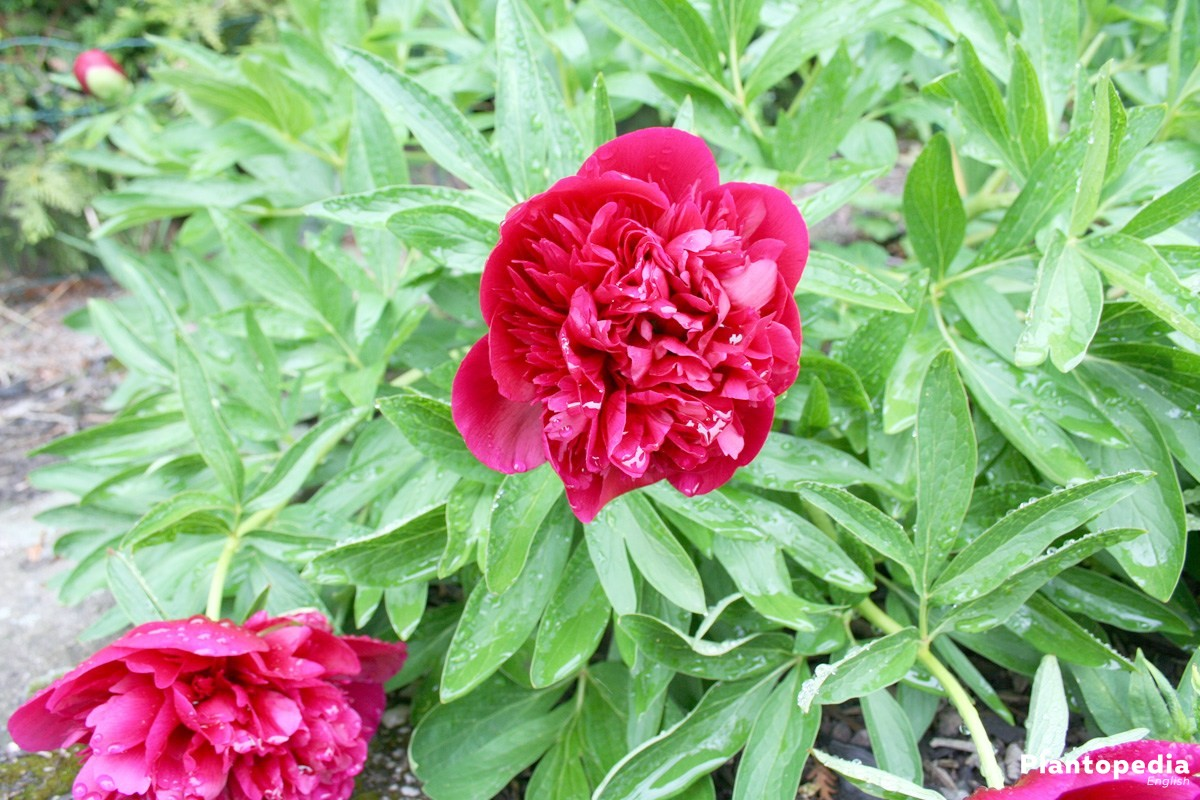 How to care for peonies planting and growing peony flowersbushes peonies paeonia in the garden patch izmirmasajfo
