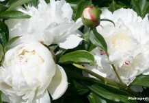 how to get rid of lady bugs on peony shrub