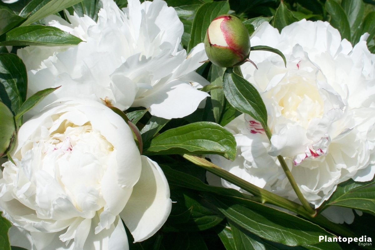 How To Care For Peonies Planting And Growing Peony Flowersbushes