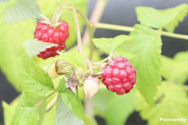 Rubus idaeus, Raspberries with juicy fruits