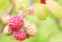 raspberries in the garden