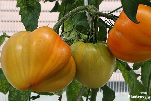 Solanum lycopersicum, Tomato plant