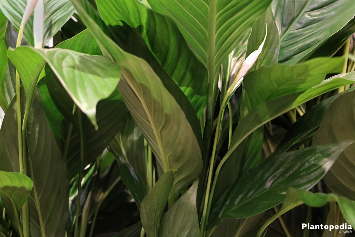 Spathiphyllum with rich green leaves